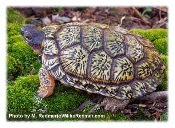 wood_turtle