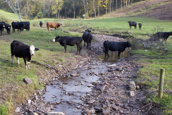 cattle grazing in C1 stream and poor land management of buffer