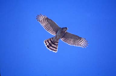 Cooper's hawk - NJ threatened species